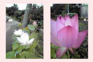 P-ロータス(きれいな可愛いハスの花)