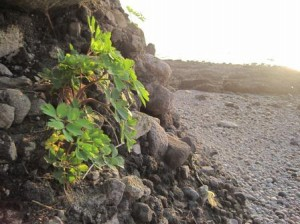 長命草(紫ボタンボウフウ)パウダー