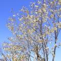 御衣黄桜・ウコン桜(4月中旬)